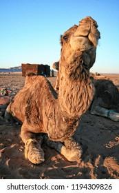 Camels, Sahara Desert, Morocco, Africa
