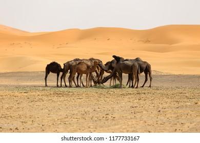 Camels in the Sahara Desert in Morocco Erg Chebbi