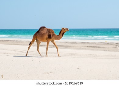 Camels in Salalah, Dhofar - Sultanate of Oman