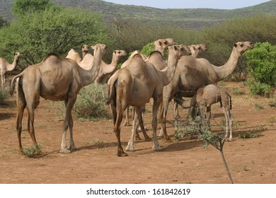 Camels are for sale at an outdoor market in Ethiopia