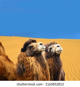 Camels with sand dunes in the background. Gobi Desert. Close-up. Travel to remote places.