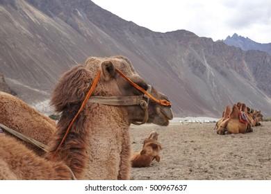 Camels at sand dunes in Nubra valley, Leh Ladakh, India