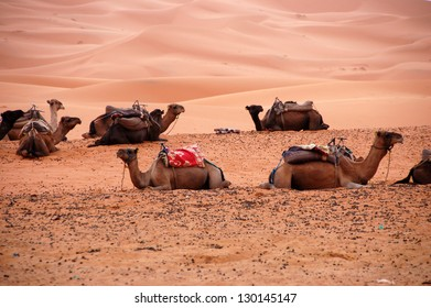 Camels sitting in the Sahara Desert, Morocco