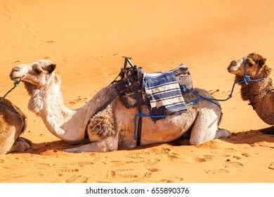 Camels Smiling in the Sahara Desert, Merzouga, Morocco