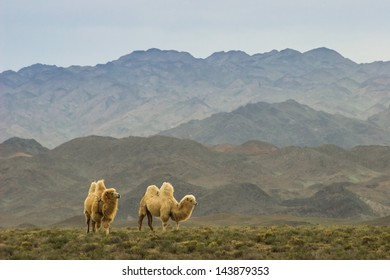 Camels at the steppe in Kazakhstan