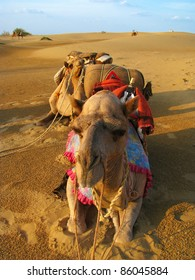 Camels at sunset in the desert of Thar, near Jaisalmer (Rajasthan, India)
