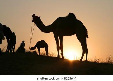 Camels at sunset, Pushkar Camel Fair