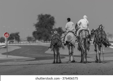 Camels and two riders stopped at stop sign. Near Dubai, United Arab Emirates