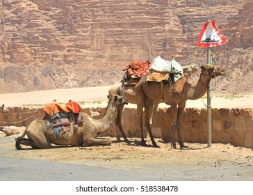 Camels waiting for tourists at the Wadi Rum Village in Jordan, in the Middle East.