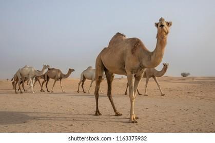 camels walking in a desert near Dubai