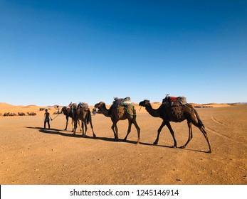 camels walking in desert under blue sky