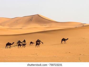 Camels in a wide desert.