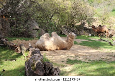 Camels in zoological garden in Bojnice, Slovakia