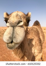 Camelus dromedarius, dromedary (also known as arabian camel) looking into camera in very close up portrait, vertical frame, funny.