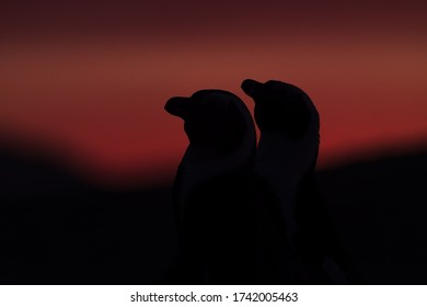 In camera silhouette South African Penguin couple sharing love at sunset on boulders beach in simon's town - south africa - wildlife photography