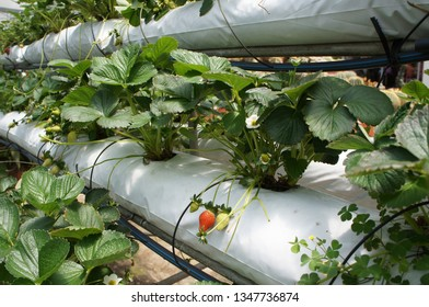 CAMERON HIGHLAND, MALAYSIA - MARCH 17, 2019: Strawberry fruits in the strawberry farm. Planted uses a multi-storey shelf to save space. Watered by using drops of water from the small polyvinyl pipes.