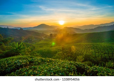 Cameron Highland Tea Plantation.Sunrise.