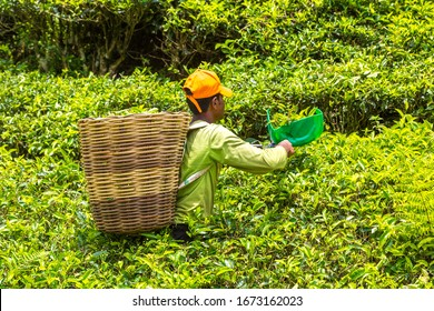 CAMERON HIGHLANDS, MALAYSIA - FEBRUARY 22, 2020: Worker picking tea leaves in tea plantation in Cameron Highlands, Malaysia