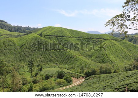 CAMERON HIGHLANDS, MALAYSIA- JUL 2019: BEAUTIFUL SCENERY OF WIDE TEA PLANTATION AT CAMERON HIGHLANDS WITH CLEAR BLUE SKIES
