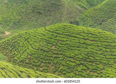 Cameron Highlands, Malaysia, March 2017 - Tea plantation
