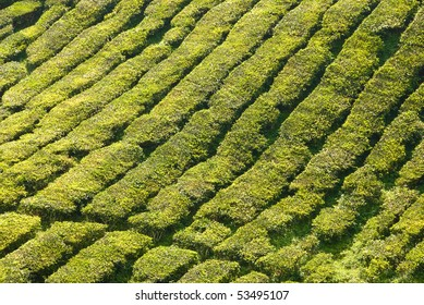 cameron highlands tea plantation area