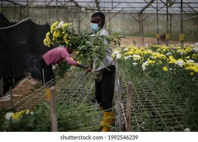 Cameron Highlands,17 June 2021,Malaysia - A  foreign worker working in a flower farm in Cameron Highlands,Malaysia.