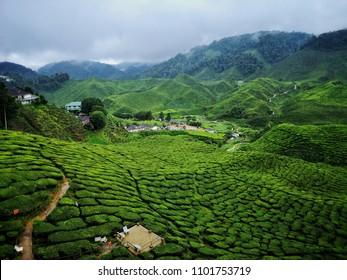 Cameroon Highland Tea Farm