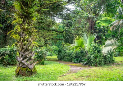 Cameroon national garden in Limbe, Ambazonia in south west Cameroon near Mount Cameroon. Endemic trees and national plants