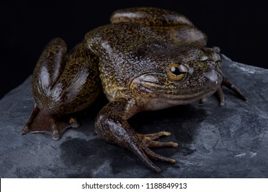 The Cameroon slippery frog (Conraua robusta) is one of the largest frog species on earth. These giant, heavily muscled frogs live in cold, fast-moving rivers in Cameroon and Nigeria.