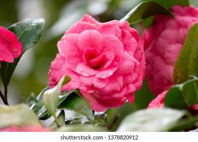 camilla in the rain perfect bloom