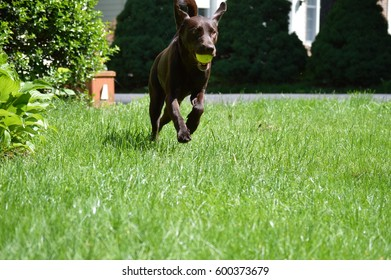 Cammie, the Chocolate lab in action.