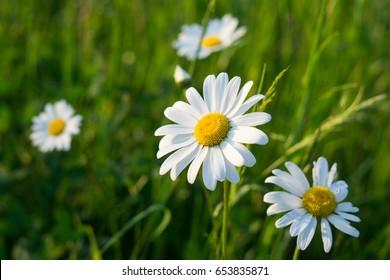 Camomile daisy flowers