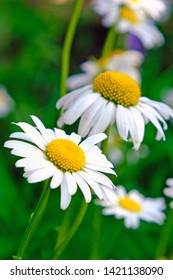 Camomile daisy flowers, field flowers, chamomile flowers, summer day. Field of camomiles.  Сamomiles close up