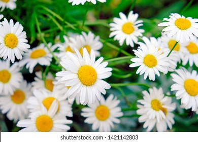 Camomile daisy flowers, field flowers, chamomile flowers, summer day. Field of camomiles.