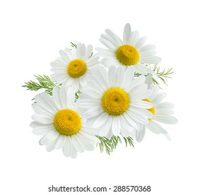 Camomile daisy group isolated on white background as package design element