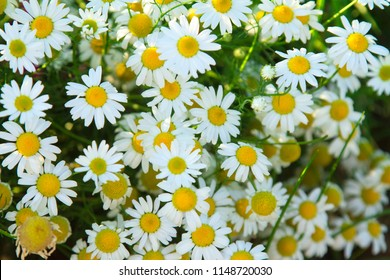 Camomile daisy sunny field natural horizontal background texture for beauty, health.