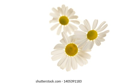Camomile flower heads isolated on a white background