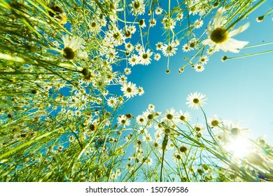 Camomile flower in summer field