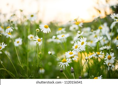 Camomile flowers on green meadow in summer. Background with summer grasses and flowers on field with sunlight side. Chamomile. Herbs for Traditional Medicine.