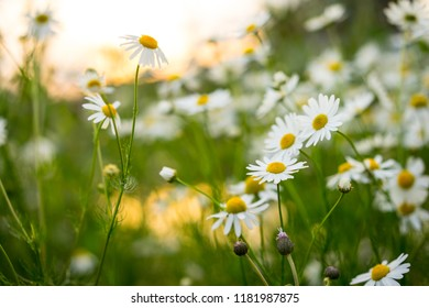 Camomile flowers on green meadow in summer. Background with summer grasses and flowers on field with sunlight side. Herbs for Traditional Medicine.
