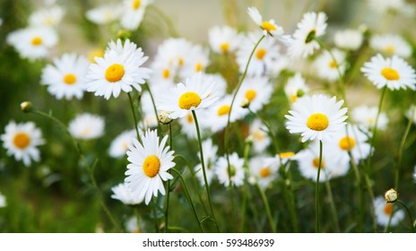 A lot of camomile flowers on a summer meadow
