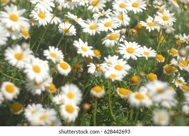 A lot of camomile flowers on a summer meadow. Camomile field in summertime. White camomiles on green field. Camomile background
