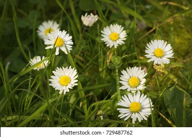 Camomile flowers in spring, Tasmania, Australia