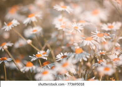 camomile flowers. summer.