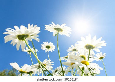 Camomile flowers in sun rays on blue sky