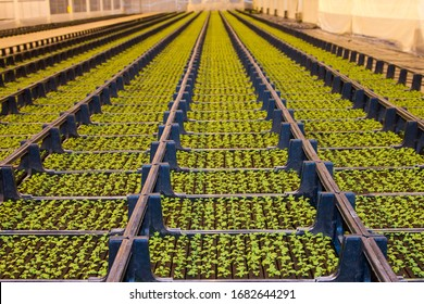 Camomile grower's greenhouse, crates with seedlings. Glasshouse growing flowers.The Netherlands. Shallow depth of focus, focus on first crates.