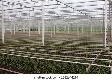 Camomile grower's greenhouse, just transplanted seedlings. Glasshouse growing flowers.The Netherlands. White pipes are for water.