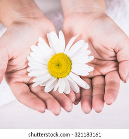 camomile in the hands of a girl