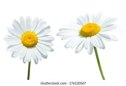 Camomile isolated on white background