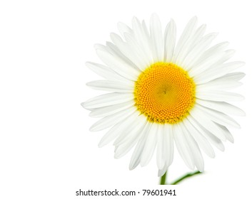 Camomile. It is isolated on a white background